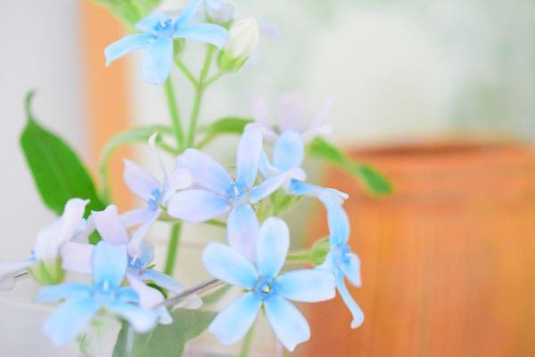 ブルースターの花