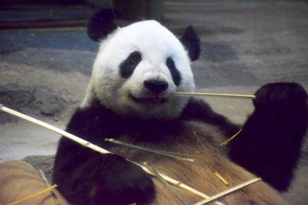 上野動物園パンダ お父さんになったリーリー。