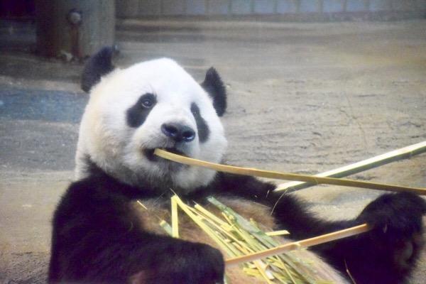 上野動物園のお父さんパンダ リーリー