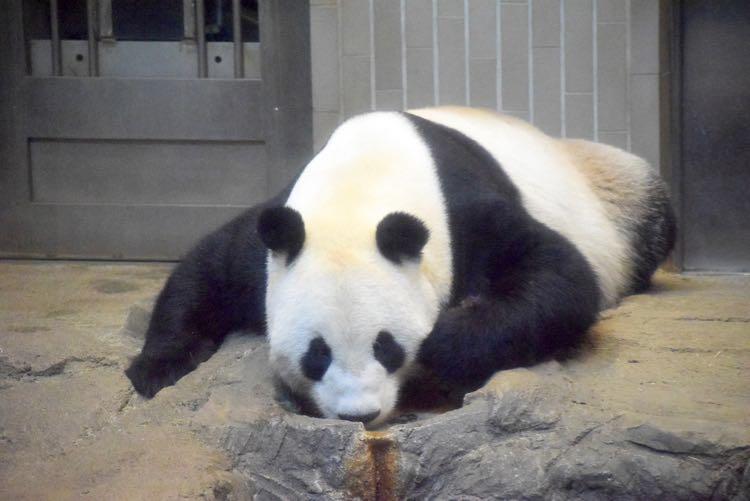 上野動物園のリーリー