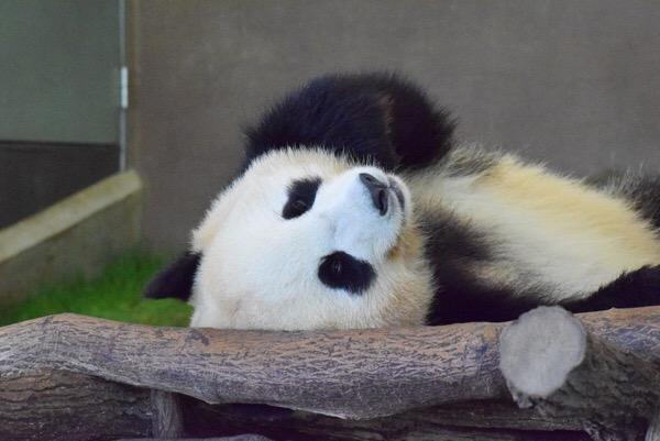 桜浜ちゃんのお昼寝タイム。アドベンチャーワールドの双子お姉さんパンダ。