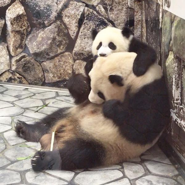 赤ちゃんパンダの結浜、良浜お母さんに甘えてはしゃぐ。