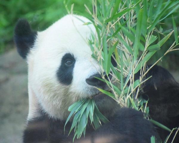 カメラ練習、継続中。課題は基本を身につける事とパンダの観察。