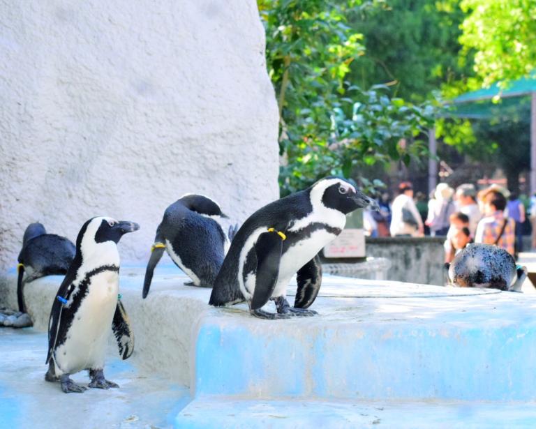 上野動物園で一眼カメラ練習。今日はガラス越しのパンダと金網越しのペンギン。