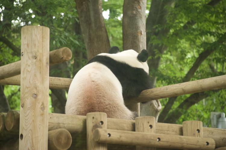 雨の日のリーリー。上野動物園でパンダ撮影練習中。