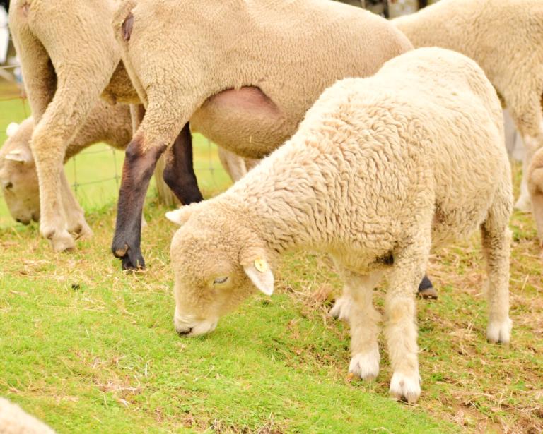 マザー牧場で羊とふれあう。自分の手からおやつを食べてくれたのがうれしかった!