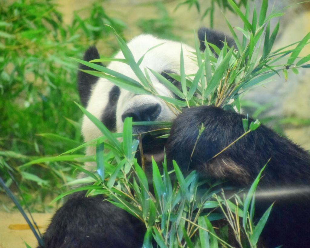 上野動物園 お父さんパンダのリーリー