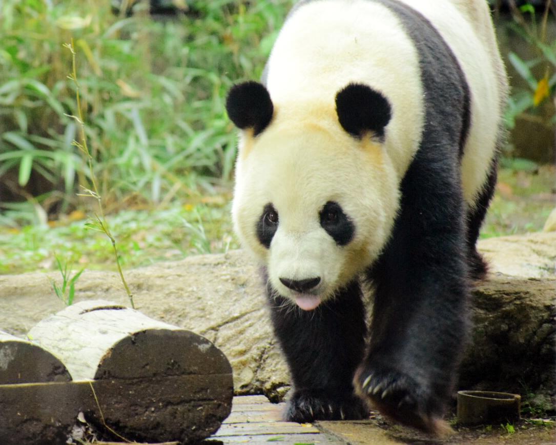 上野動物園お父さんパンダ リーリー