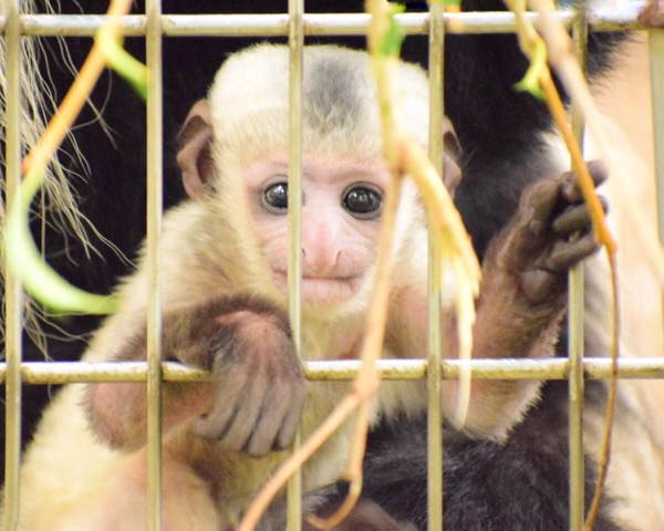 上野動物園 アビシニアコロブスの赤ちゃん