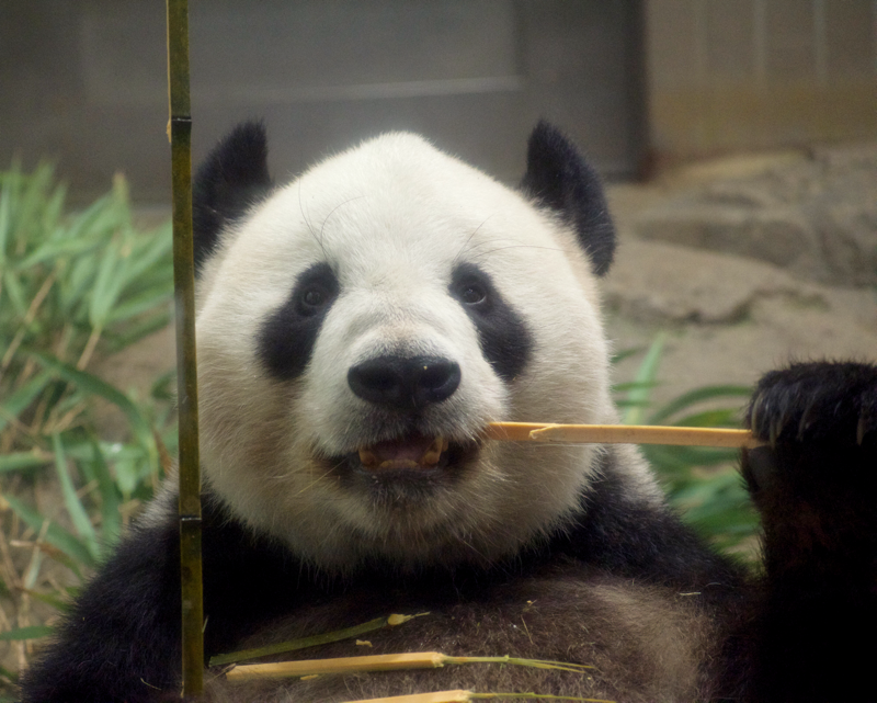 上野動物園リーリー