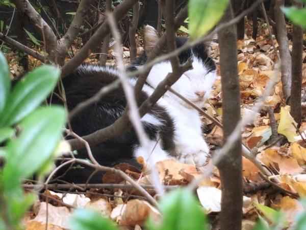 上野公園の自由猫、朝の身づくろいをする。