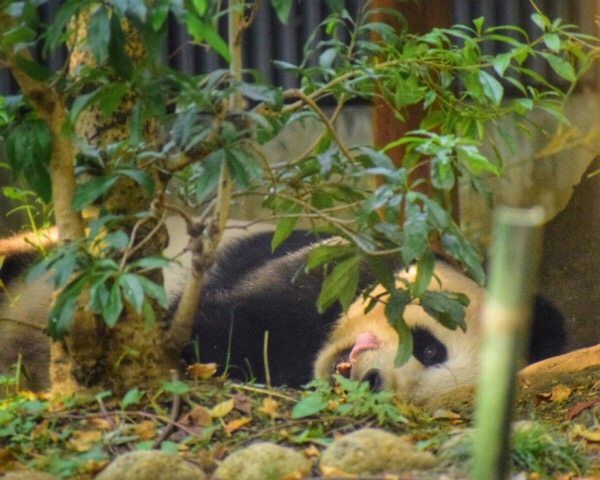 秋晴れの上野動物園。リーリーのランチタイム[2017/11/7]