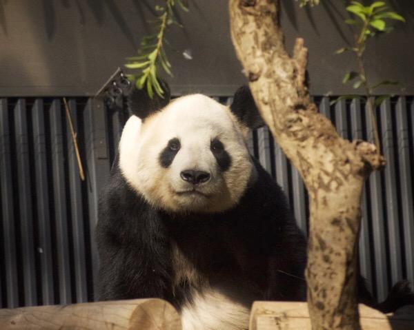 冬の訪れを楽しむ、お父さんパンダのリーリー[5/Dec/2017]