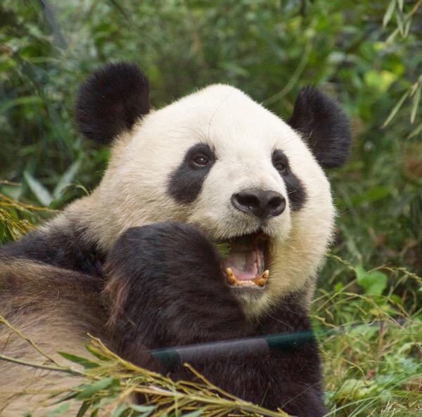 パンダの骨格を診断出来るようになりました!