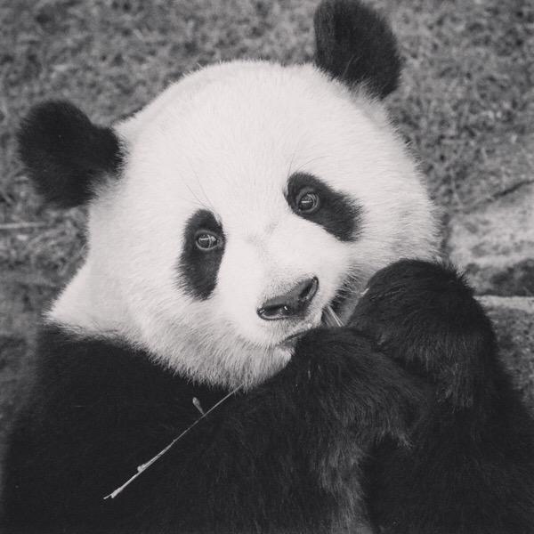 パンダはカラー写真でも、モノクロ写真でも、可愛い![Instagram投稿まとめ]
