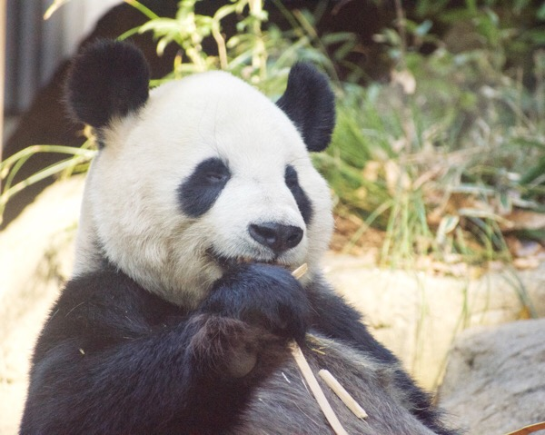 上野動物園のパンダ舎で、ガラスフェンスの反射を抑えながら可愛くパンダの写真を撮ろう!