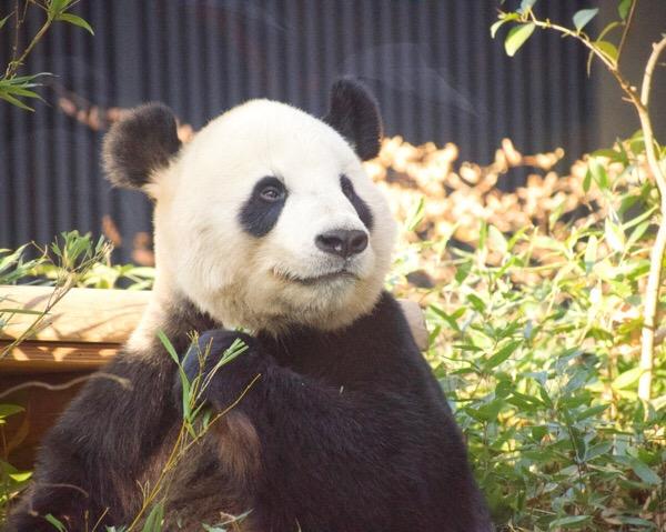 上野動物園パンダ舎は比較的暗めの環境。青みが強く出るので、温かみを出すホワイトバランスにしています。