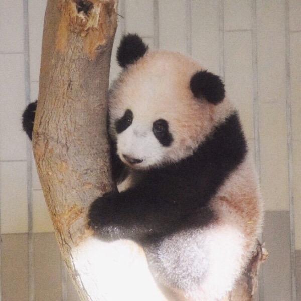 上野動物園のパンダファミリー。リーリーとシンシン&シャンシャンの元気な姿を見てきました。
