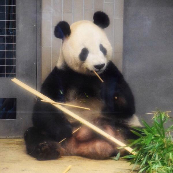 上野動物園リーリー テディベアみたいなポーズ