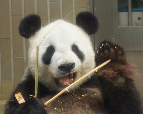 可愛らしい表情を見せる上野動物園リーリー(力力)
