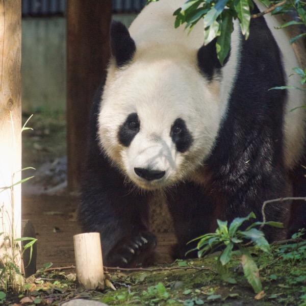 上野動物園リーリー(力力)