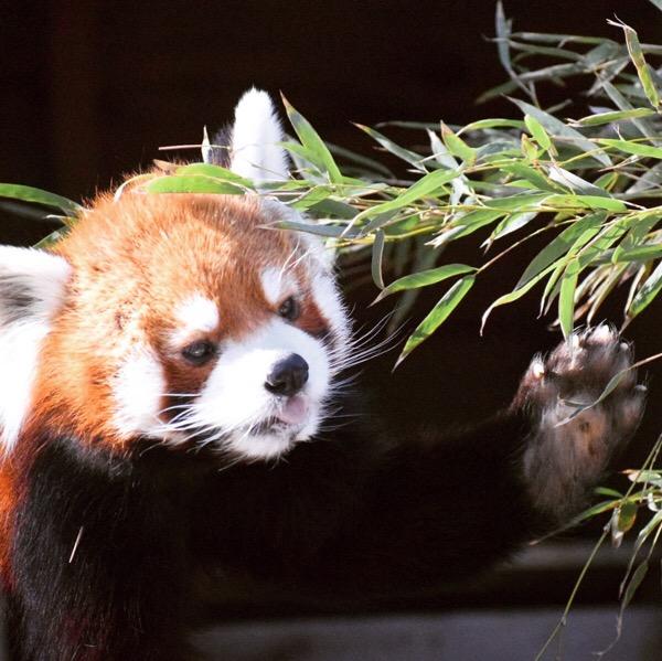リンゴを食べる風太くん。千葉市動物公園に住むレッサーパンダに会ってきました。
