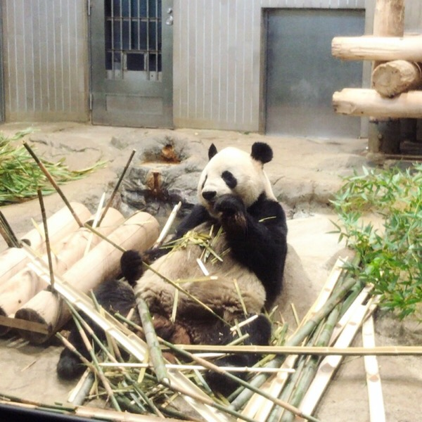 屋内放飼場で竹を食べる上野動物園リーリー