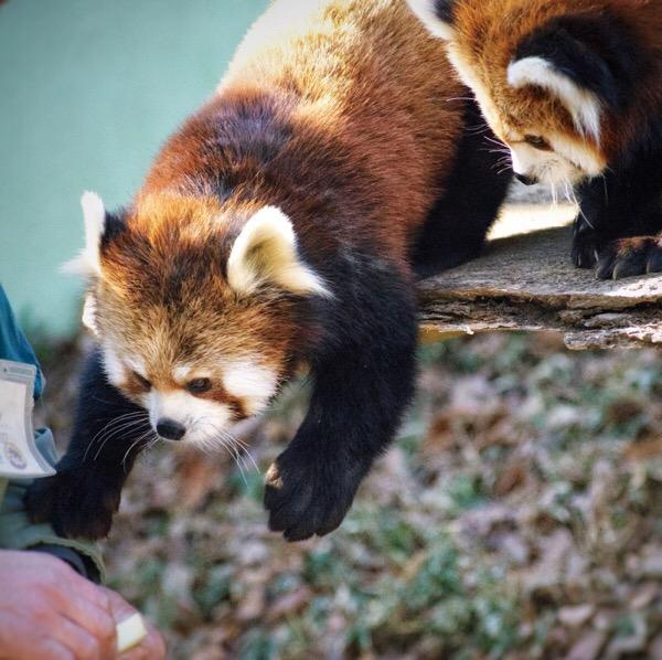 レッサーパンダ 小熊猫