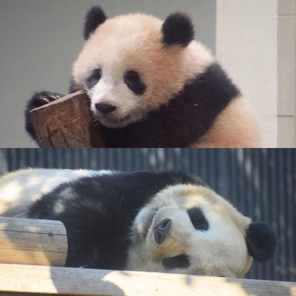上野動物園 親子パンダ リーリーとシャンシャン