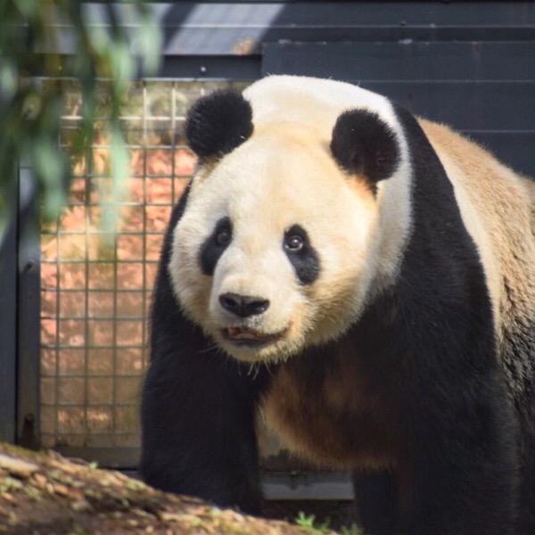 上野動物園おとうさんパンダのリーリー(力力)