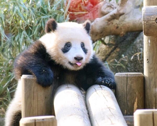 屋外放飼場で遊ぶ上野動物園シャンシャン