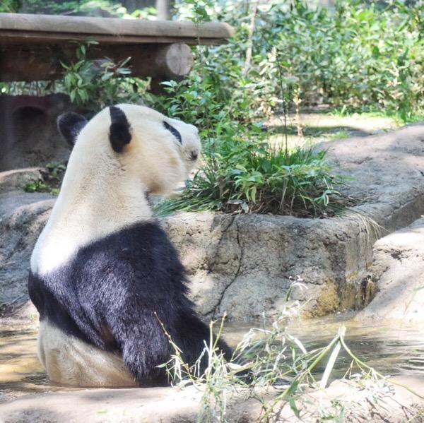 上野動物園リーリー水浴び