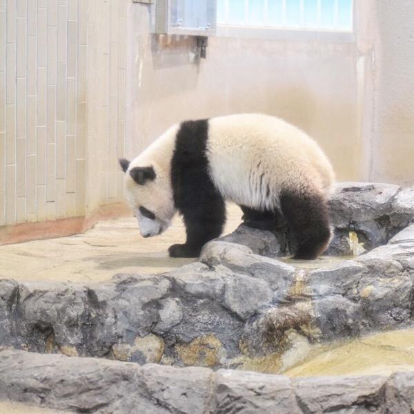 パンダ日記(2/May/2018) 赤パンから子パンダへ!成長を感じた今日のシャンシャン。