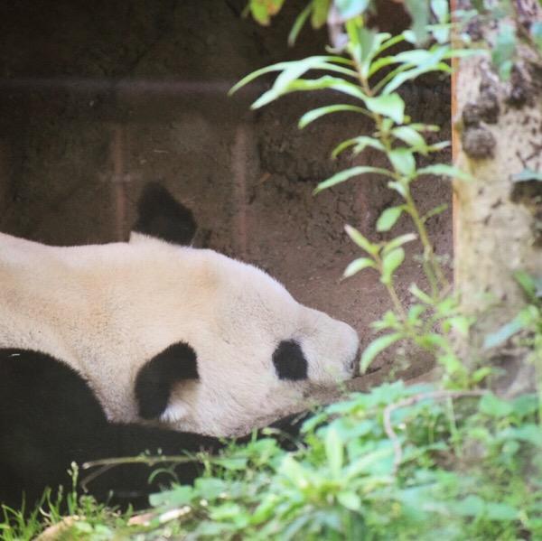 パンダ日記(5/May/2018) すやすやお昼寝リーリーは、完全入れ替え制での観覧でした。