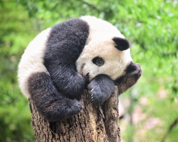 パンダ日記(8/May/2018) 今日はお昼寝してシャンシャンと木登りリーリー!