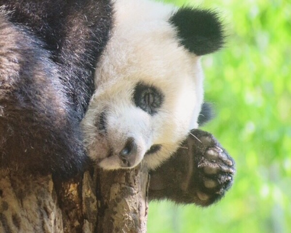 上野動物園シャンシャンお昼寝