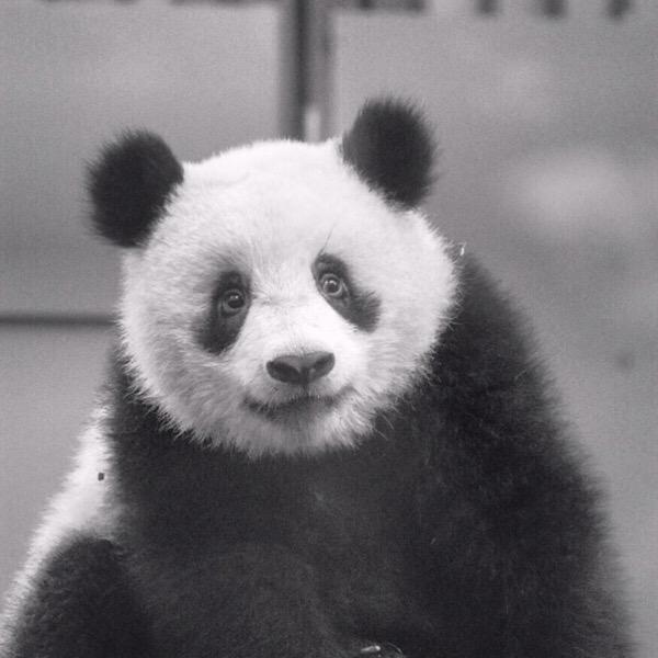上野動物園シャンシャンのモノクロポートレート