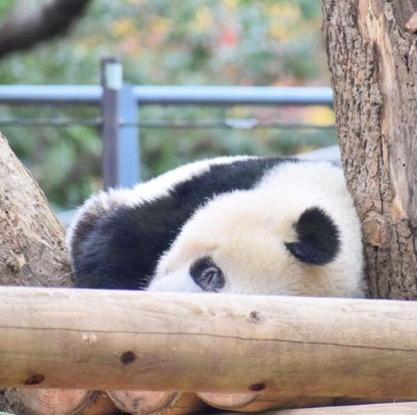冬はパンダたちの大好きな季節!気持ちよさそうなお昼寝タイム。パンダ日記(13/Dec/2018)