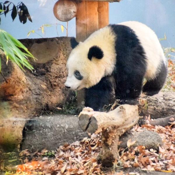 おなかすいちゃった!美味しい竹を自分で探すシャンシャン。パンダ日記(14/Dec/2018)
