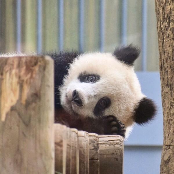 上野動物園の女の子パンダ(シャンシャン)