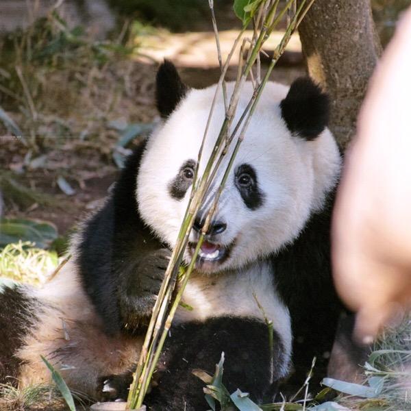 美味しいって幸せ!上野パンダズのお正月。パンダ日記(2/Jan/2019)