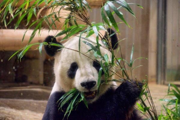 上野動物園リーリーのごはんタイム