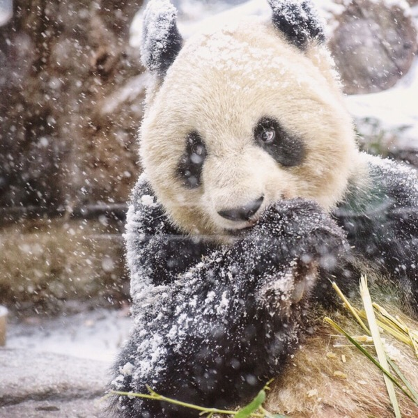 雪とパンダ。幻想的な美しさに感動した日【パンダ日記 9/Feb/2019】