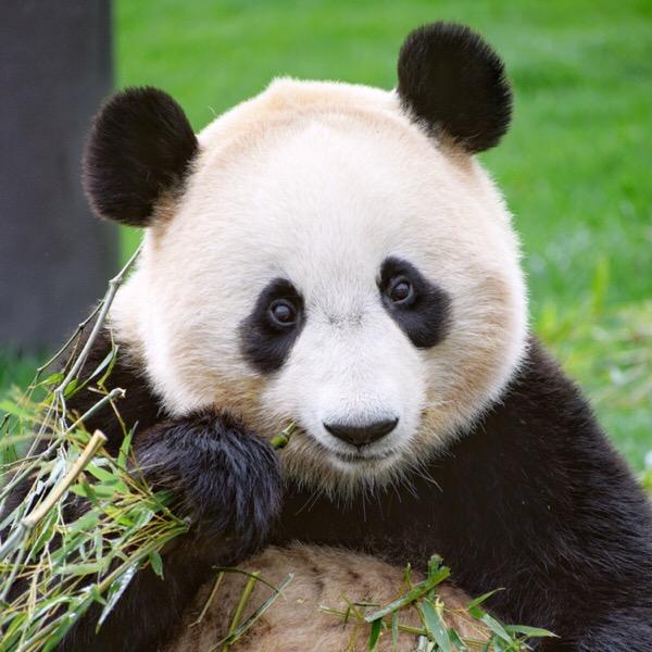 パンダが上を向いたときは、シャッターチャンス!【パンスタグラム講座】2/100blogs