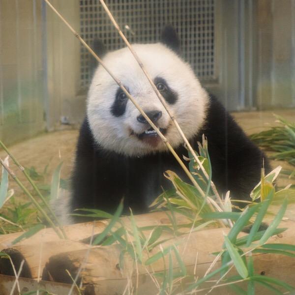 次の竹を選ぶときは、パンダの方から身を乗り出してくるよ。【パンスタグラム講座】9/100blogs