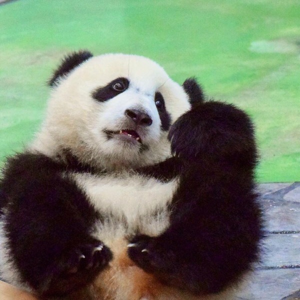 オスのパンダを格好良く撮るなら流し目アングル。赤パンのあどけなさは下からアングルで表現。【パンスタグラム講座】12/100blogs