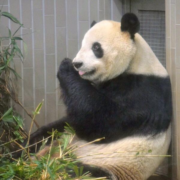 リーリーのもぐもぐタイムと、お花見の上野公園。【パンダ日記 22/Mar/2019】2/100blogs