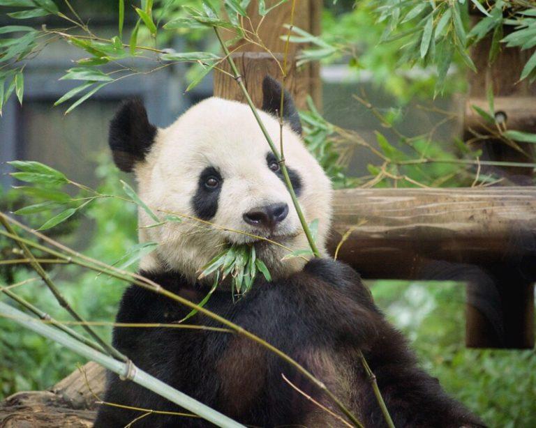 パンダ写真はSnapseedでレタッチしてます。悩みの写り込みもこれで編集。【パンスタグラム講座】7/100blogs