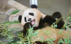 動物イラスト、次のモデルも赤ちゃんパンダ。【鉛筆デッサン】22/100blogs