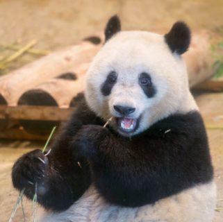 ソニーα7IIIで2度目の上野動物園。【パンダ日記 24/Apr/2019】28/100blogs